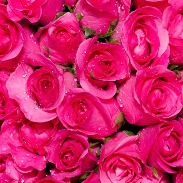 pink-roses-02